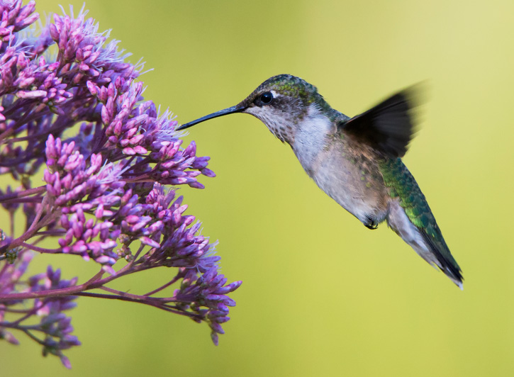 Ruby-throated hummingbird © Sarah Keates