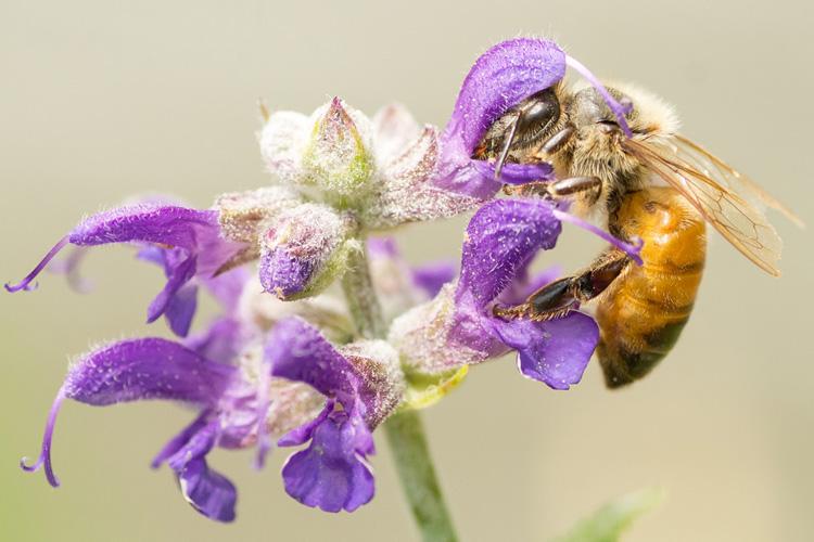 Honeybee © Susumu Kishihara