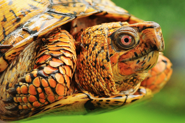 Eastern Box Turtle © Kevin McCarthy