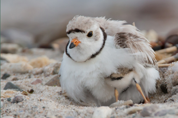 Piping plovers © Lia Vito