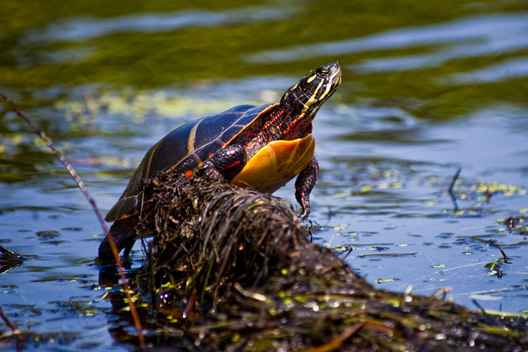 Painted Turtle © John Aberhart