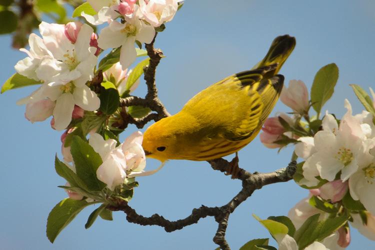 Yellow Warbler © Larry Warfield