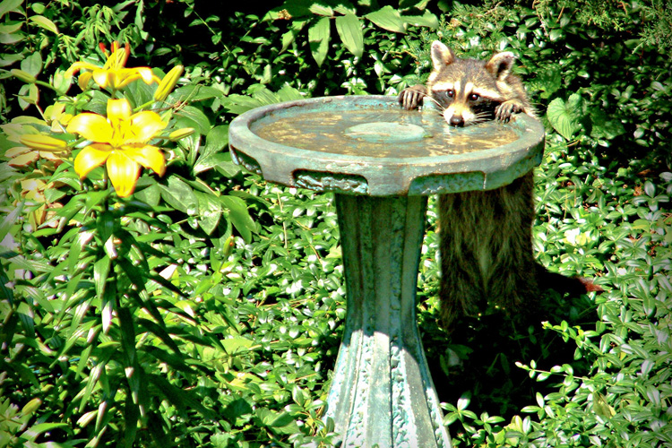 Raccoon at Birdbath © Lisa Gurney