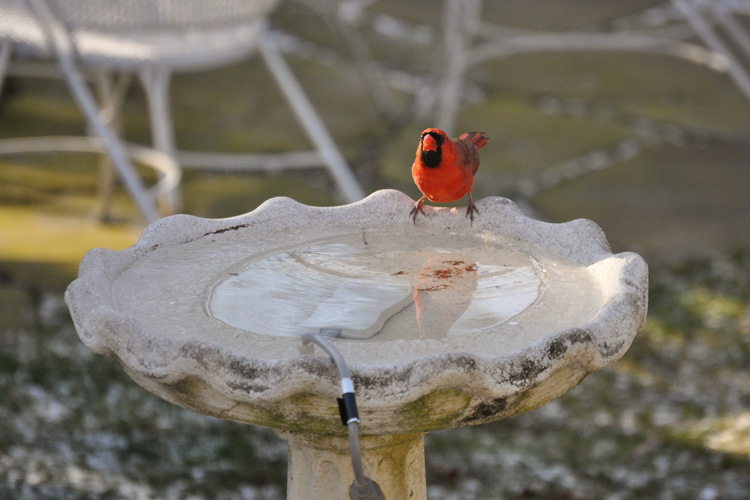 Northern Cardinal at Birdbath © Jack Bakker