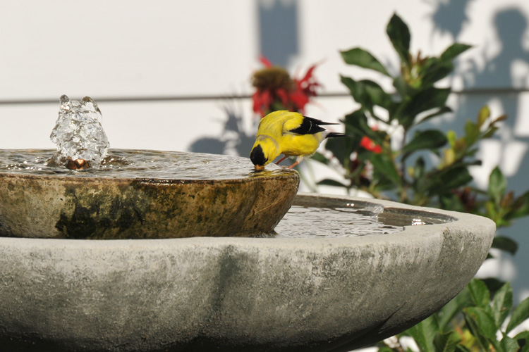 Goldfinch at Birdbath © Paula Stephens