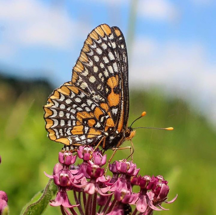 Baltimore Checkerspot © Brendan Cramphorn