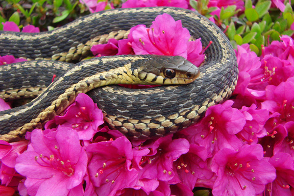 Common Garter Snake © Catherine Luce
