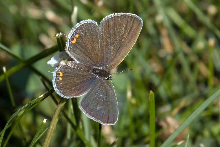 Eastern Tailed Blue © Nanci St. George