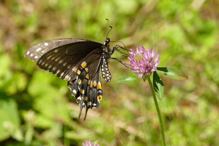 Black Swallowtail © Amy Dahlberg Chu
