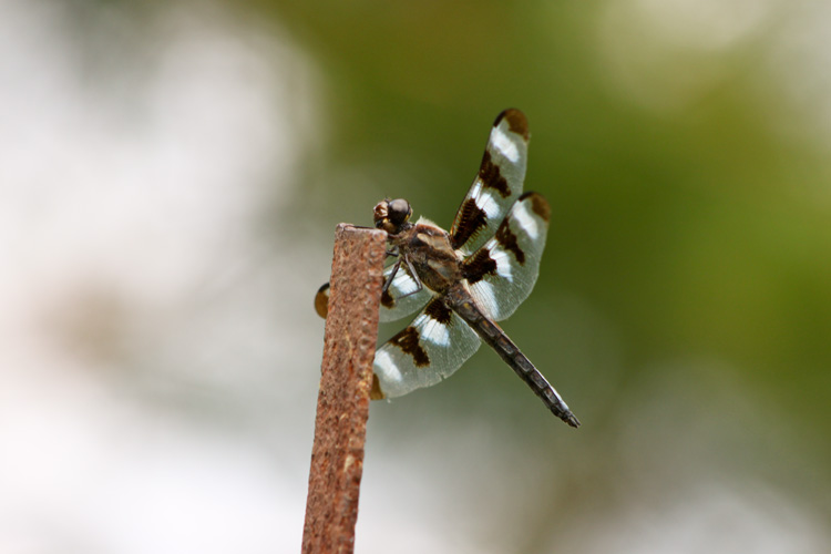 Twelve-spotted Skimmer dragonfly © Sharon Siter