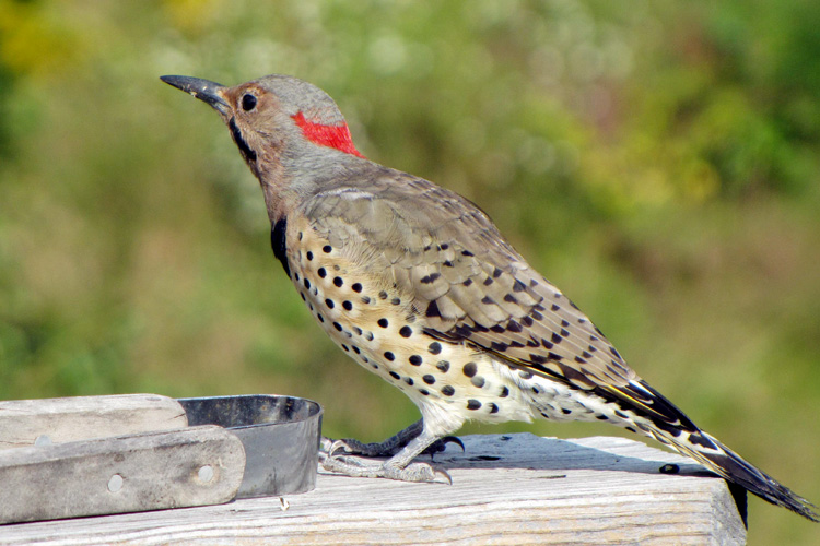 Male Northern Flicker © Paul Flanders