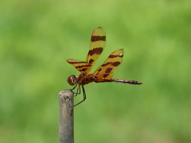 Halloween Pennant dragonfly (male) © Teresa Taylor