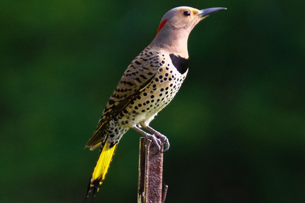 Female Northern Flicker © Gates Dupont