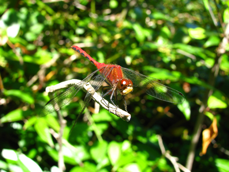 Ruby Meadowhawk dragonfly (male) © Kerri Hoey
