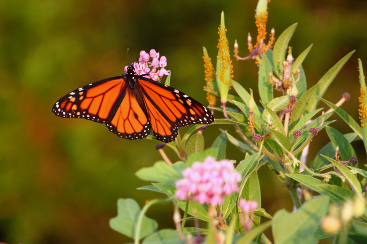 Monarch Butterfly at Long Pasture © Matthew Magann