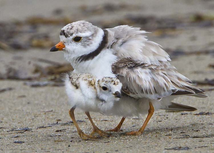 Piping Plovers © Sandy Selesky