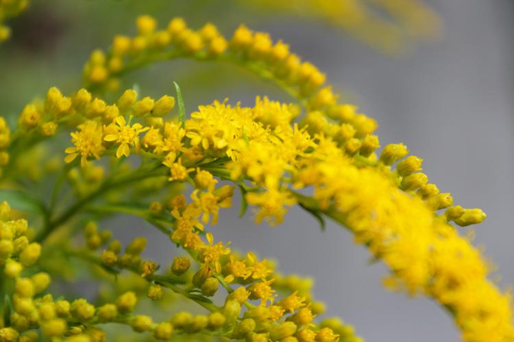Goldenrod © Katharine Randel
