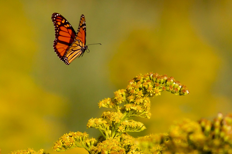 Monarch Butterfly and Goldenrod © Kim Caruso
