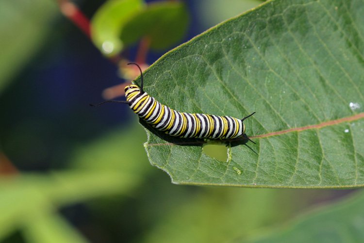 Monarch Butterfly Caterpillar © John Linn