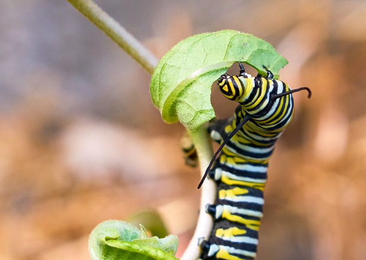 Monarch Butterfly Caterpillar © Sean Horton