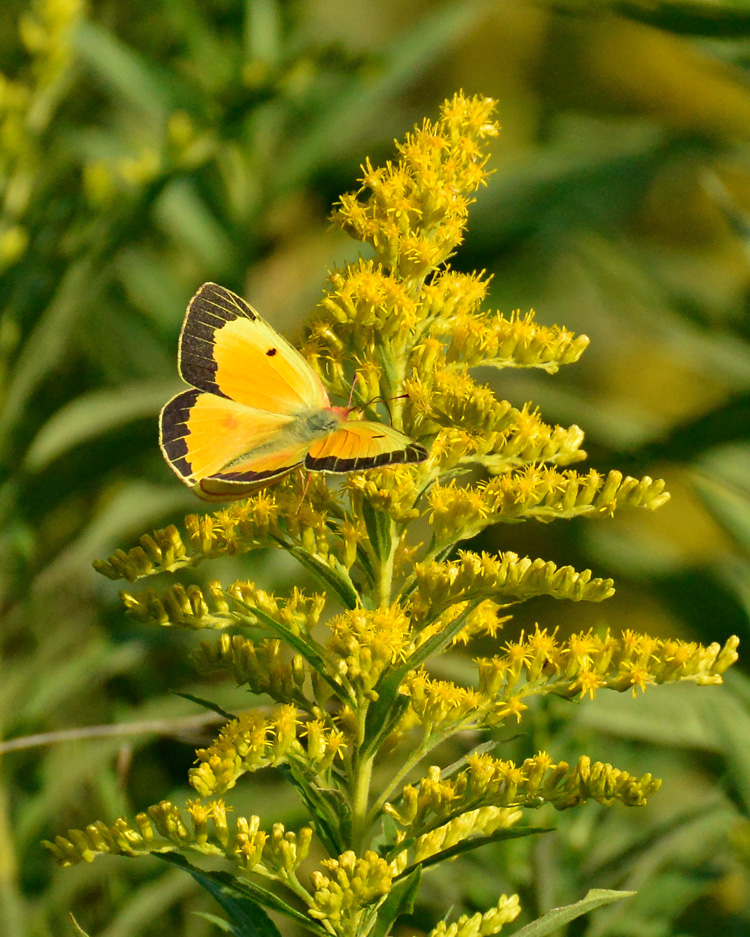 Orange Sulphur on Goldenrod © Richard Welch