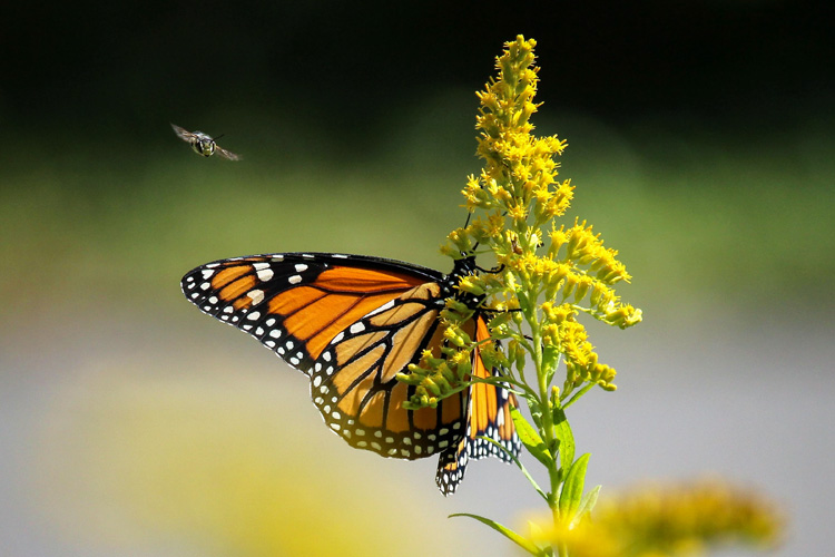 Monarch Butterfly on Goldenrod © Karen Lund