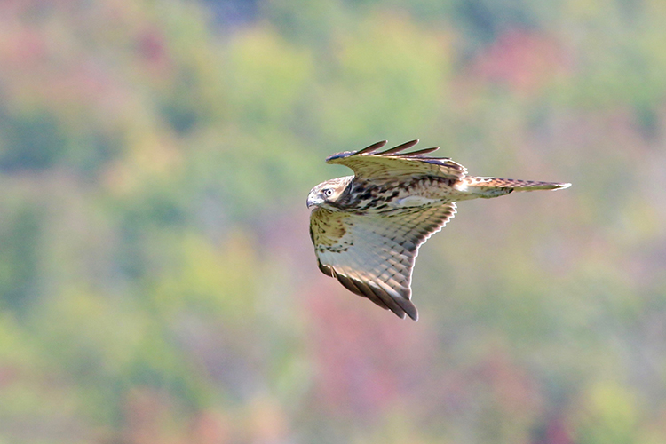 Red-shouldered Hawk © Brian Rusnica