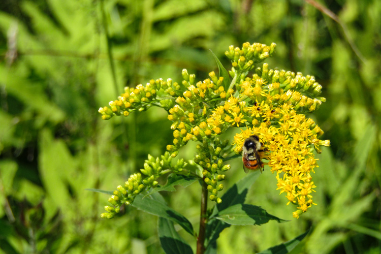 Tri-colored Bumblebee on Goldenrod © Ellen Pierce