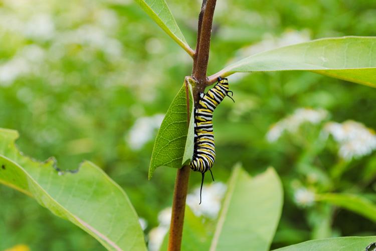 Monarch Butterfly Caterpillar © Emily Curewitz