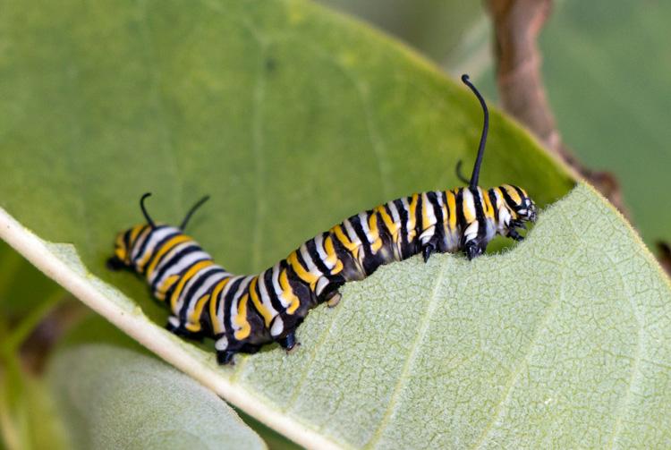 Monarch Butterfly Caterpillar © Ken Conway