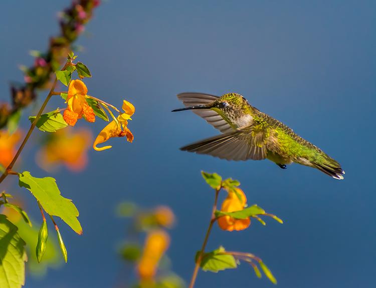 Hummingbird © Bernard Creswick