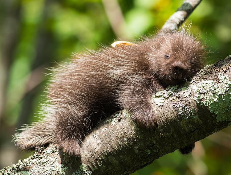 Porcupine © David Blad