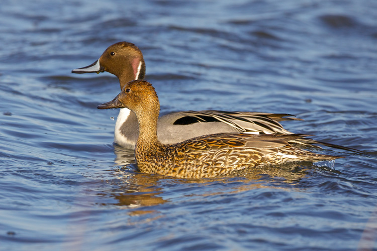 Northern Pintails at Joppa Flats © Ken DiBiccari