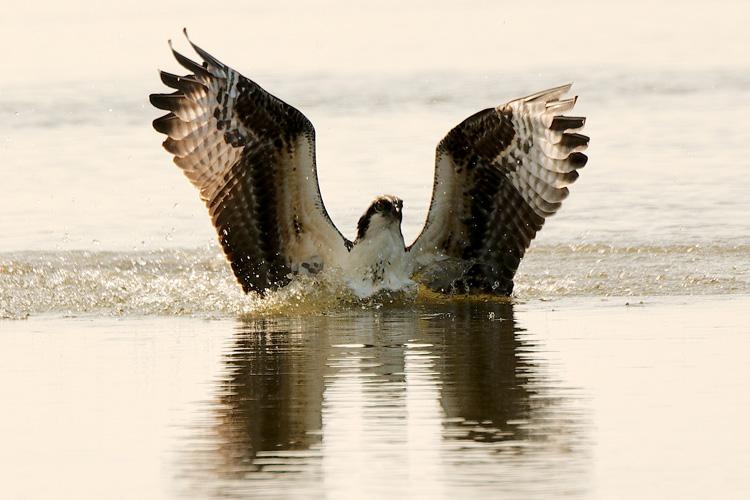 Osprey © Dennis Durette