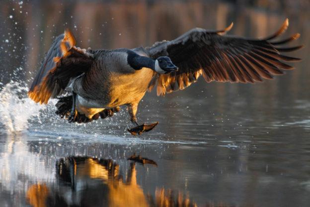Canada Goose © Davey Walters