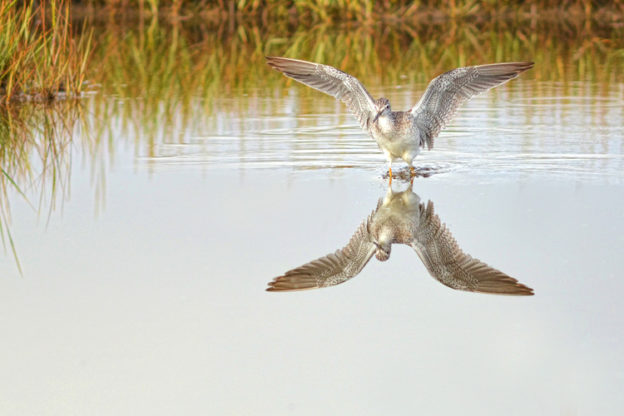 Greater Yellowlegs © Rachel Bellenoit