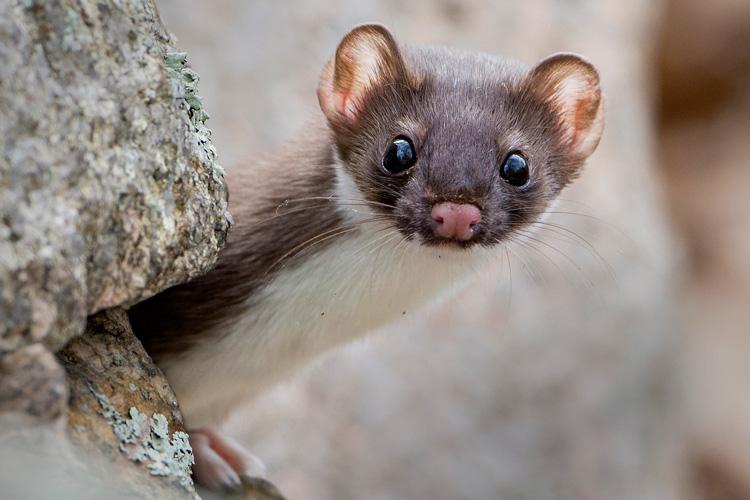 Weasel © Steve Flint