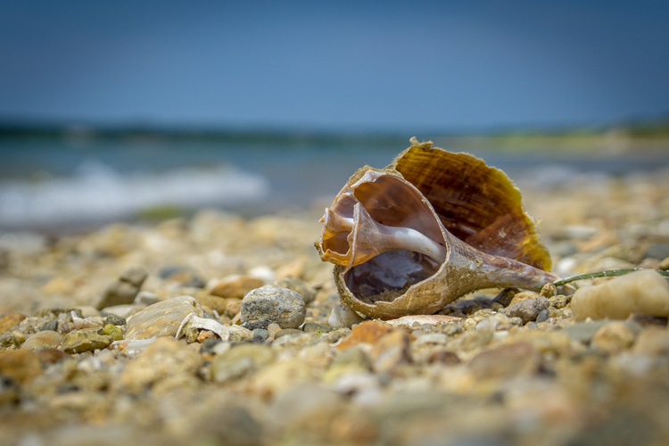 Channeled Whelk © Marian Stanton