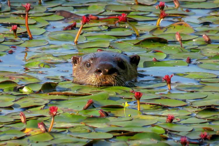 Otter © Amy Severino