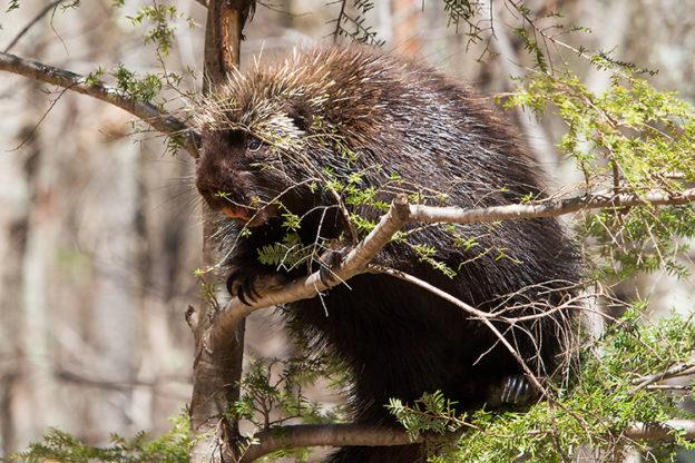 Porcupine © Cheryl Rose