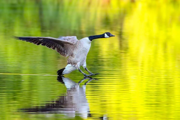 Canada Goose © Marco Jona