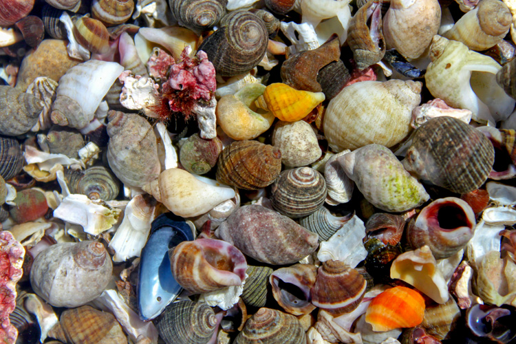 A mix of periwinkles, dog whelks, and winkles © David Perkins