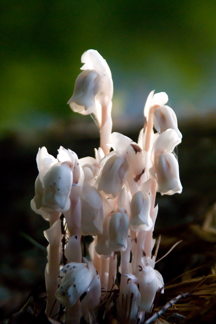 Indian Pipe © Robert DesRosiers
