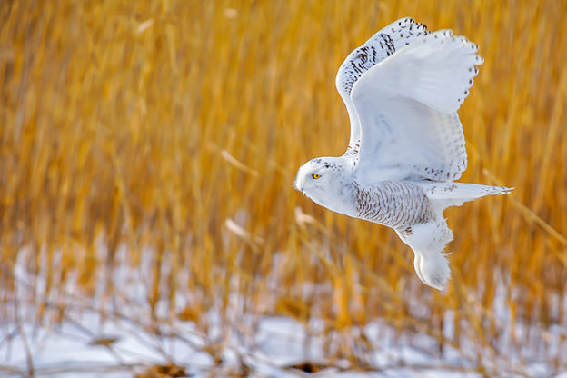 Snowy Owl © David Morris