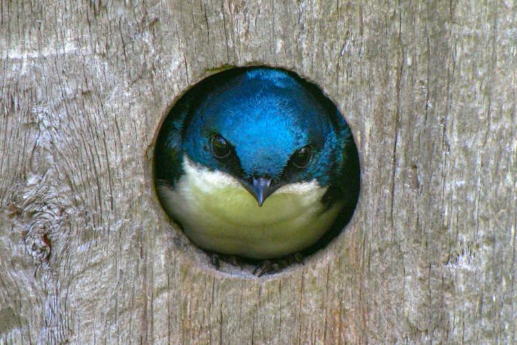 Tree Swallow © Will Sweet