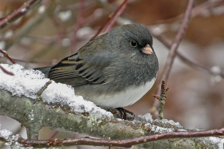 Dark-eyed Junco © Andy Eckerson