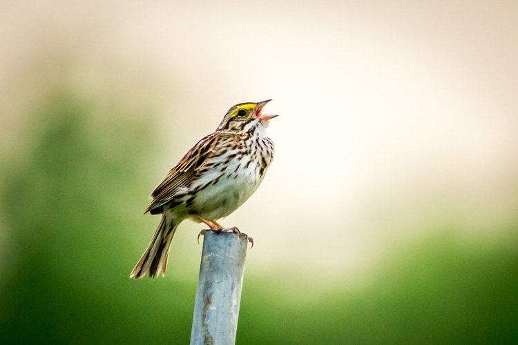 Savannah Sparrow © Phil Doyle