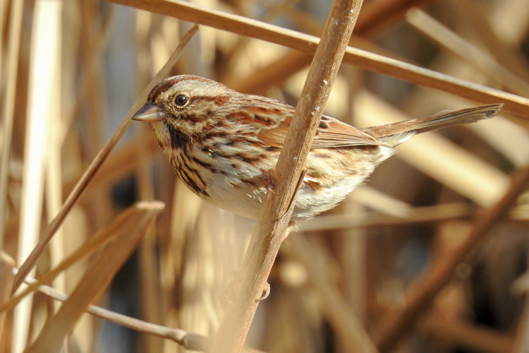 Song Sparrow © Mike Shachook