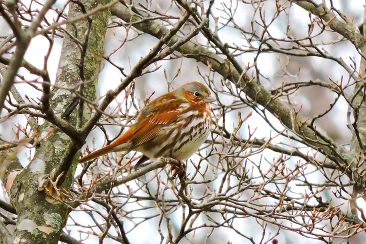 Fox Sparrow © Alberto Parker