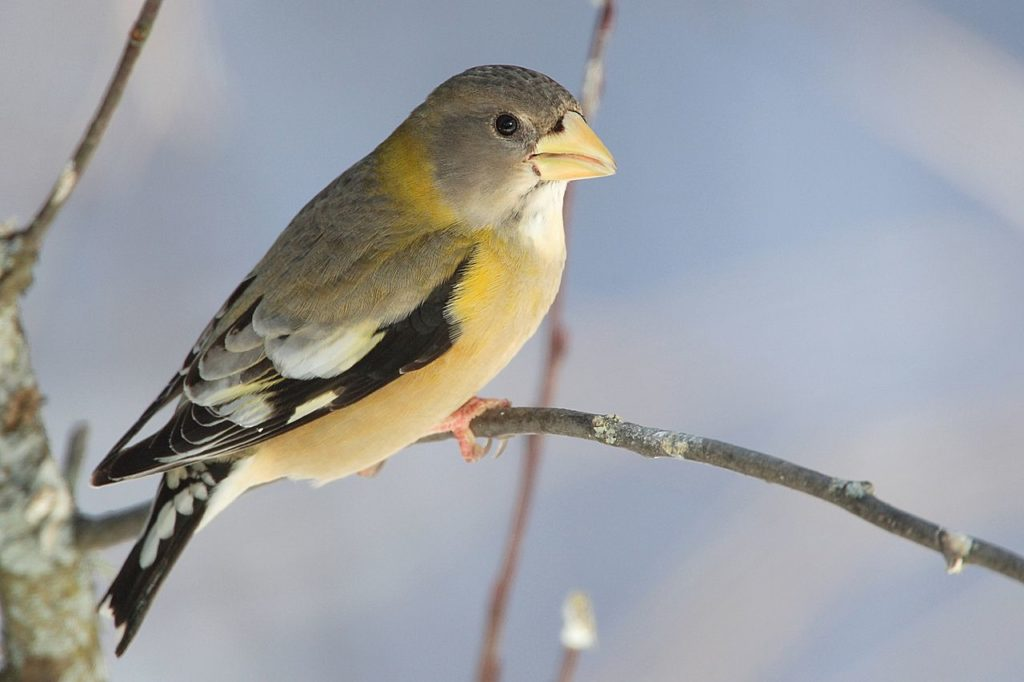 Evening Grosbeak © MDF (CC BY-SA 3.0)